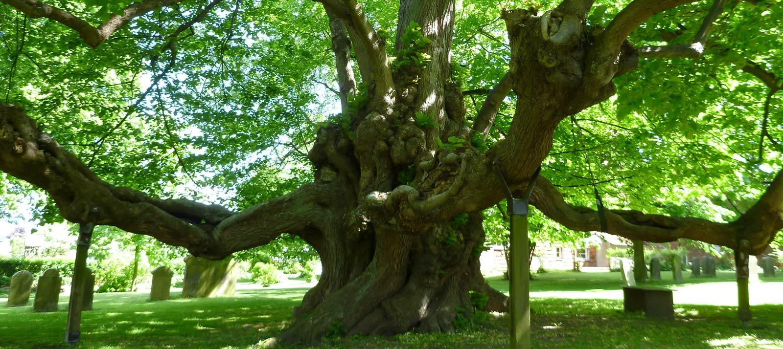 Onderhoud en groeiplaatsverbeteringmonumentale bomen